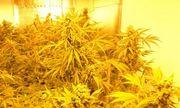 Dolnośląscy policjanci zlikwidowali plantację ponad 1000 krzewów konopi