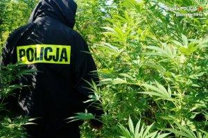 policjant na plantacji narkotyków